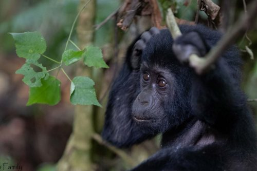 2 Day Gorilla Tracking Safari in Uganda