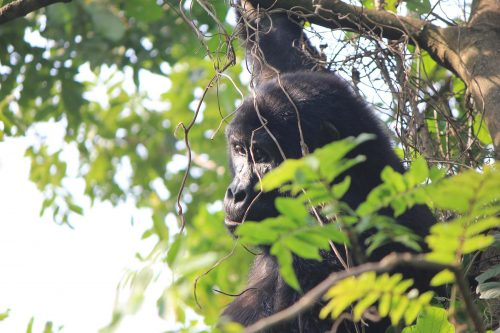 3 Days Gorilla Trekking in Uganda