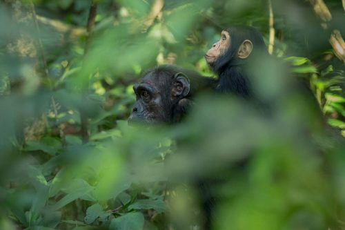 2 Days Chimpanzee Tracking Safari in Uganda