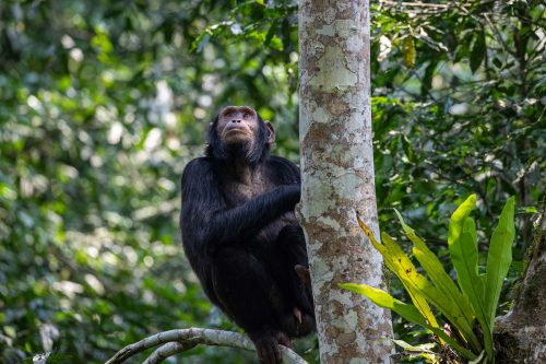 4 Day Chimpanzee Tracking in Kibale Forest