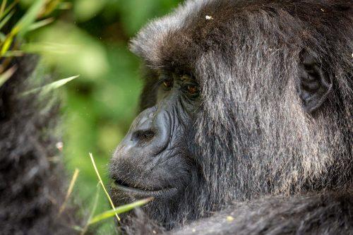 3 Day Gorilla Trekking safari in Rwanda